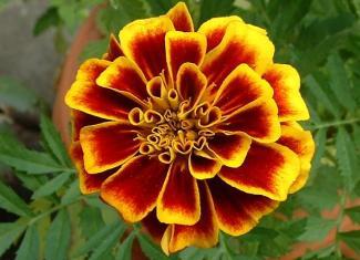 Flower Marigold 1